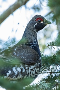 Sprucegrouse